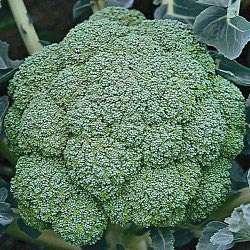 Broccoli Arcadia