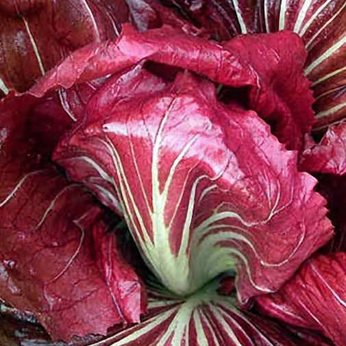 Palla Rossa organic Italian chicory