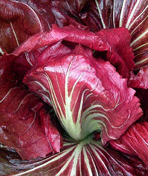 Palla Rossa Italian Chicory - organic seeds