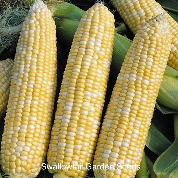 Delectable corn's large ears hold yellow and white kernals.