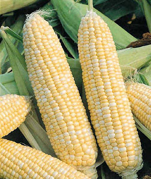 Double Standard Bicolor with white and yellow kernels on long ears.
