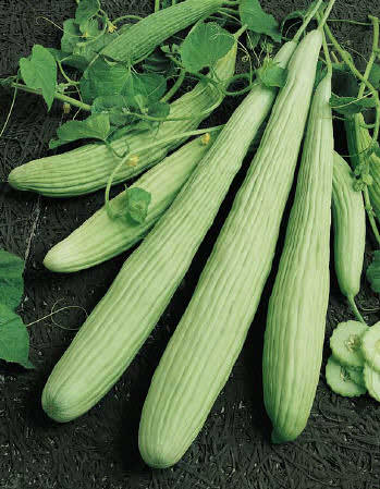 Cucumber Armenian - organic seeds