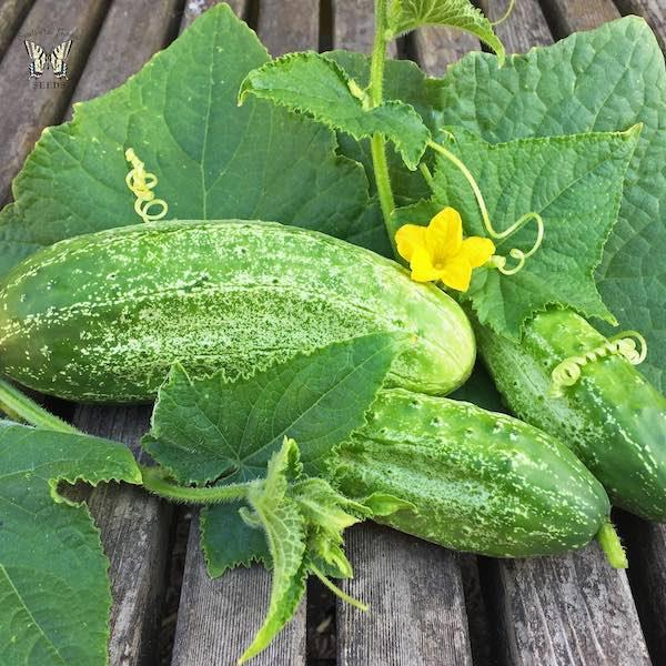 Cucumber Boston Pickling Improved