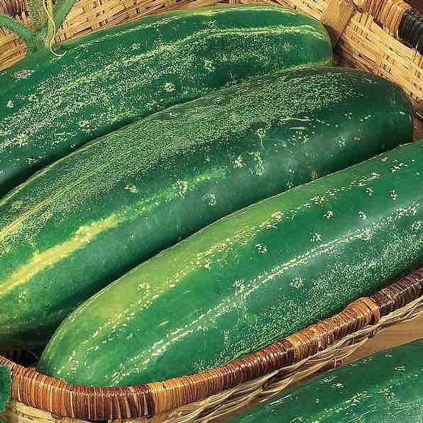 Cucumber Straight Eight - organic seeds