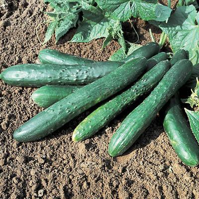Cucumber Sweet Succes