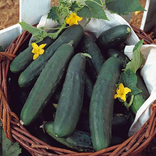 Cucumber Tasty Green