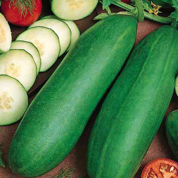 Cucumber Tendergreen Burpless - organic seeds