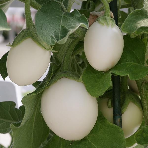 Ivory Patio eggplant seeds