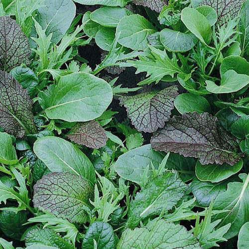 Mild and Spicy Mix greens - organic seeds