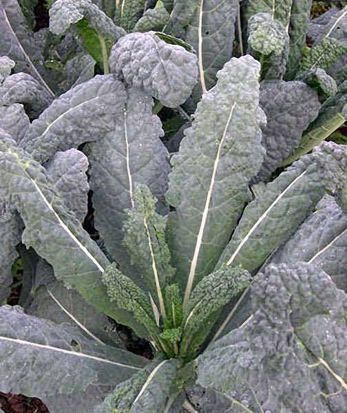 Lacinato kale seeds - organically grown