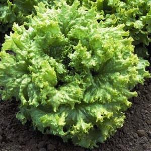 Black Seeded Simpson lettuce seeds - organic seeds
