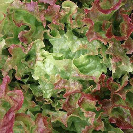 Blushed Icy Oak organic oakleaf lettuce