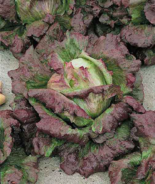 Cardinale summer crisp lettuce leaves are red, green, and brilliant purple red.