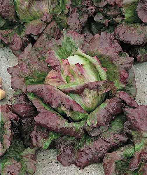 Cardinale summer crisp lettuce