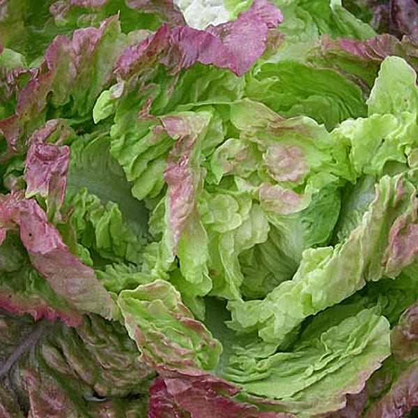 Lettuce Carmona Butterhead - organic seeds
