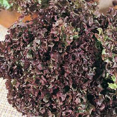 Dark Red Lolla Rosa loose-leaf lettuce seeds - organic seeds
