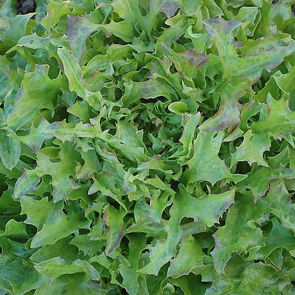 Fine Cut Oak loose Leaf lettuce seeds - organically grown