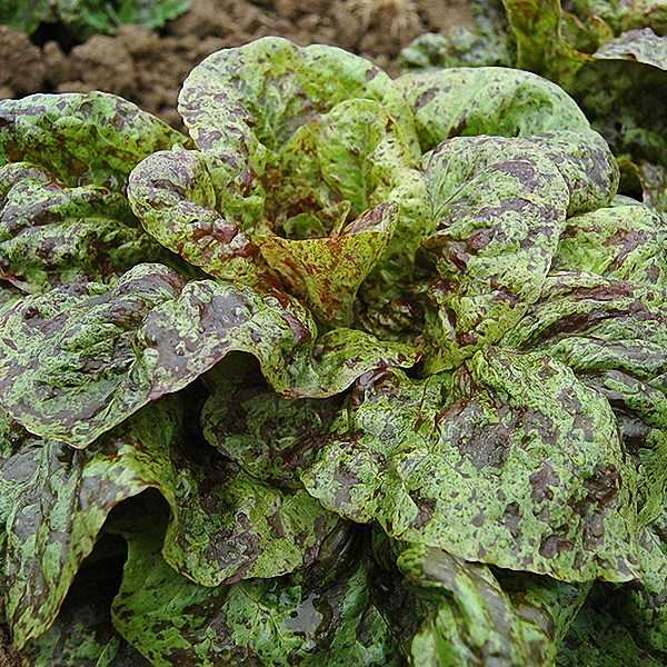 Lettuce Flashy Butter Gem butterhead - organic seeds