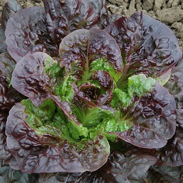 Lettuce Pandero romaine - organic seeds