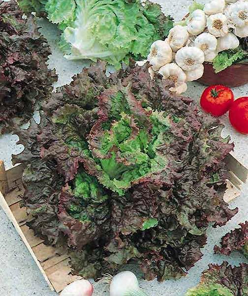Red Sails loose leaf lettuce