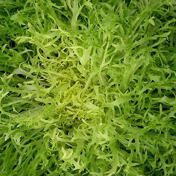 Maraichere Tre Fine Frisee endive - organic seeds