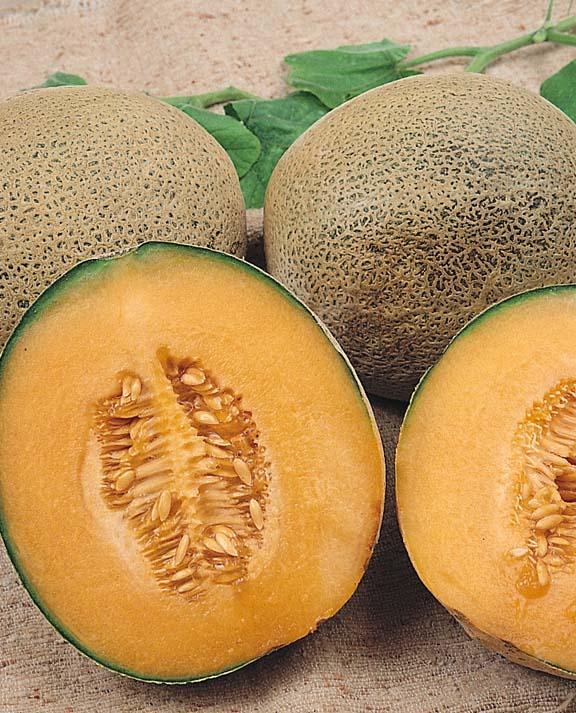 Cantaloupe Ambrosia Hybrid