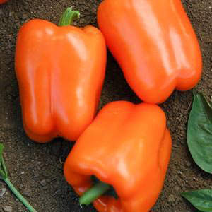 Bell peppers Orange King