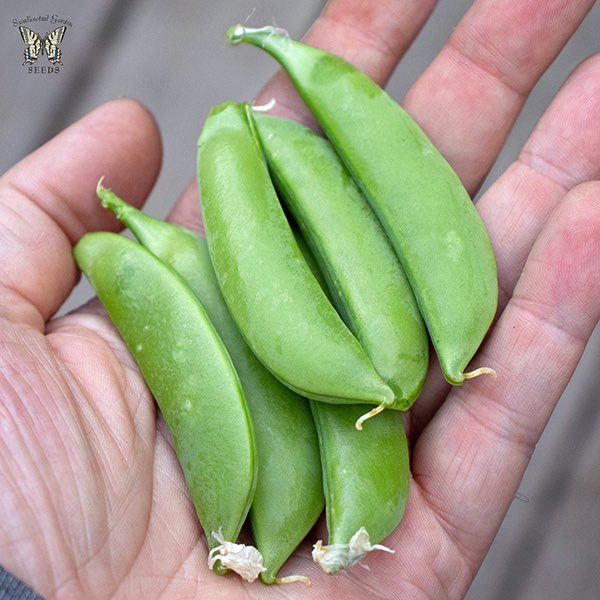 Snap pea Little Crunch, handful of pods