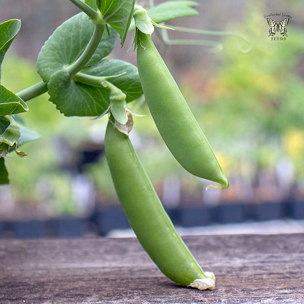 Snap pea Little Crunch pods on a plant