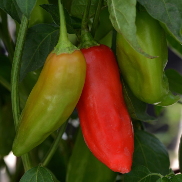 Aji Rico Hybrid pepper seeds