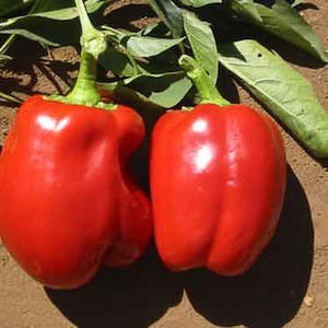 Bell pepper Big Red