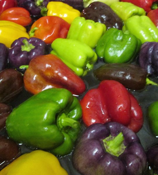 Bell pepper mixed - shades of red, orange, yellow, purple, and green.