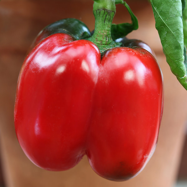 Bell pepper Redskin Patio
