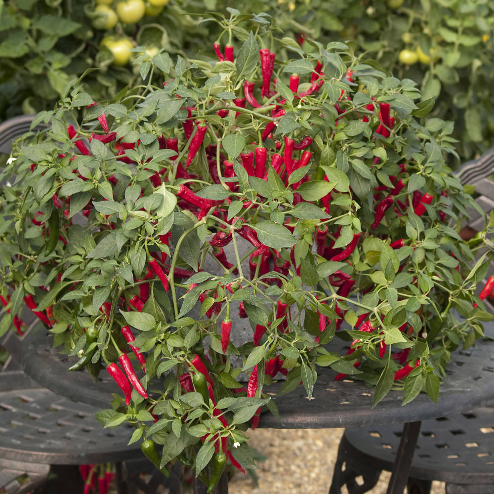 Cayennetta Hybrid pepper seeds