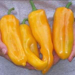 Golden Marconi sweet pepper