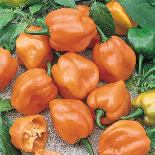 Pepper Habanero Orange - hot peppers