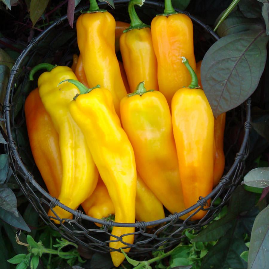 Pepper Mama Mia Giallo