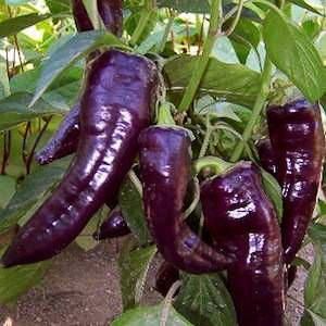 Purple Marconi sweet pepper