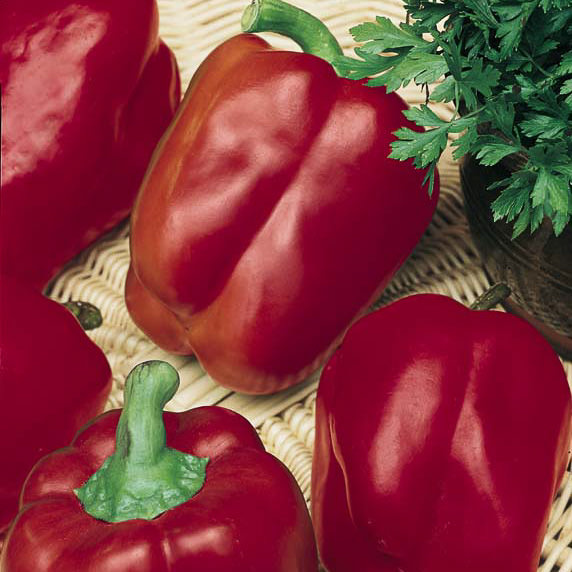 Bell Pepper Red Knight