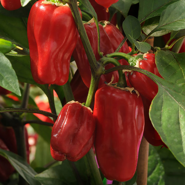 Sweet Heat pepper seeds