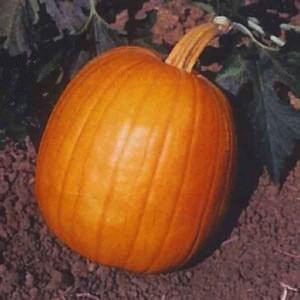 Pumpkin Autumn Gold