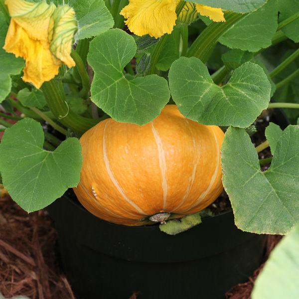 Pumpkin Seeds For Sale 5 Pumpkins Vegetable Seeds