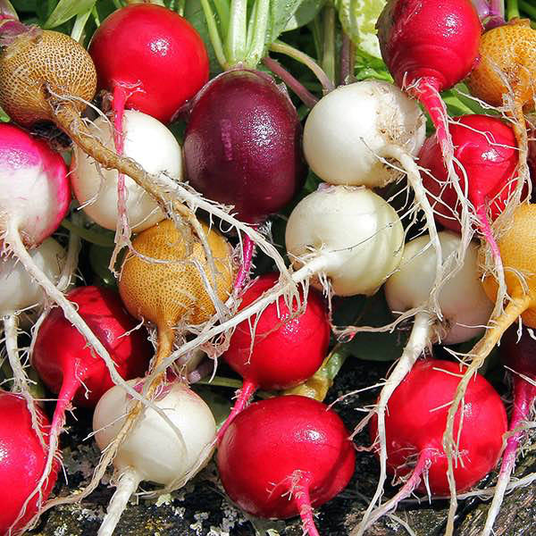 Radish Rainbow Mix vegetable seeds