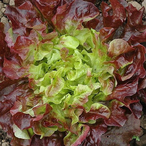 Lettuce Samantha loose-leaf lettuce seeds - organic seeds