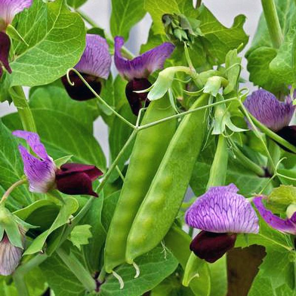 Snow pea Little Purple