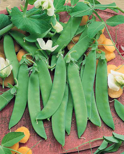 Snow pea Oregon Giant