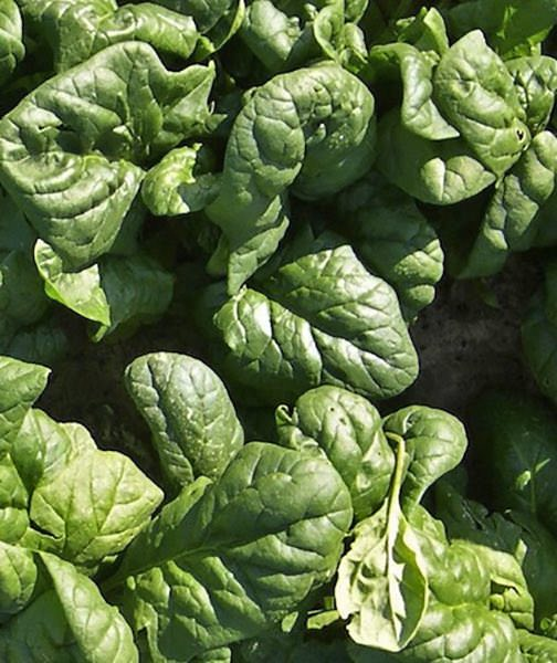 Spinach Corvair organic