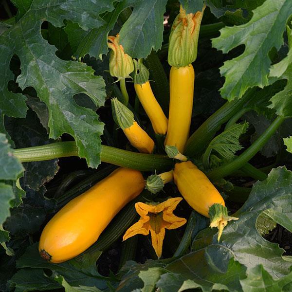 Easy Pick Gold 2 Zucchini squash