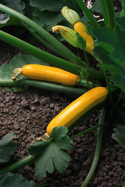 Z'oro Zucchini squash