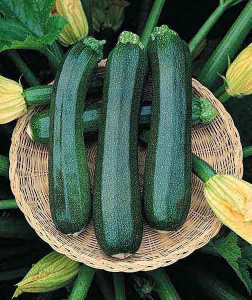 Zucchini squash - Ambassador Hybrid
